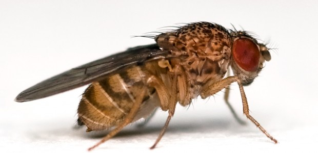What Do Fruit Flies Have to Do with Curing Cancer?