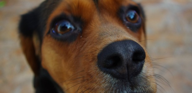 Dogs Prove More Effective than Machines at Detecting Early Stage Cancer